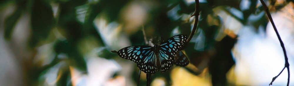 7 Beautiful Butterfly Species of the Daintree Rainforest