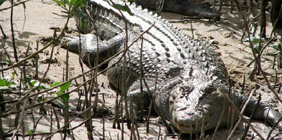 Crocodile rivercruise - daintree River